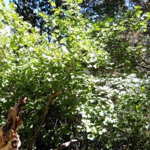 Photographie n°215083 du taxon Acer pseudoplatanus L.