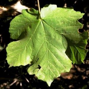Photographie n°215084 du taxon Acer pseudoplatanus L.
