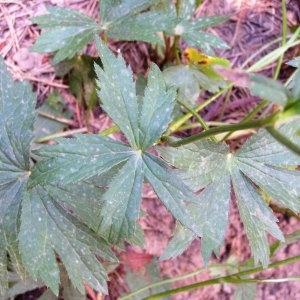 Photographie n°215098 du taxon Astrantia major subsp. major