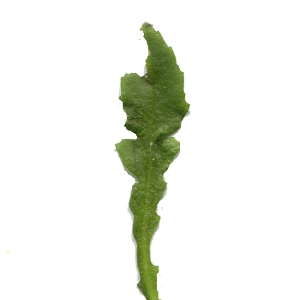 Photographie n°215145 du taxon Capsella bursa-pastoris (L.) Medik.
