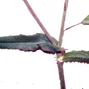 Photographie n°215152 du taxon Capsella bursa-pastoris (L.) Medik.