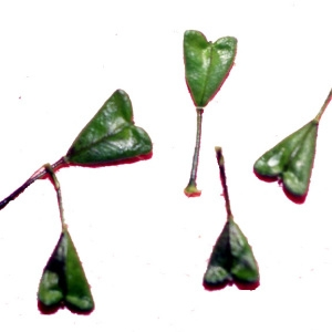 Photographie n°215154 du taxon Capsella bursa-pastoris (L.) Medik. [1792]
