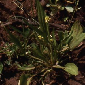 Photographie n°215163 du taxon Ranunculus revelierei Boreau [1857]
