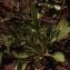 Liliane Roubaudi - Ranunculus revelierei Boreau