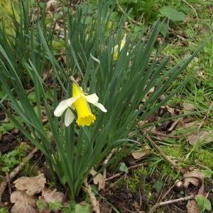 Photographie n°215167 du taxon Narcissus pseudonarcissus L. [1753]