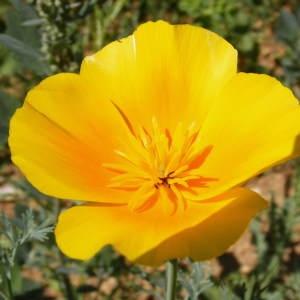 - Eschscholzia californica Cham. [1820]