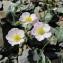 Marie-Reine DUBOIS - Ranunculus parnassifolius L. [1753]