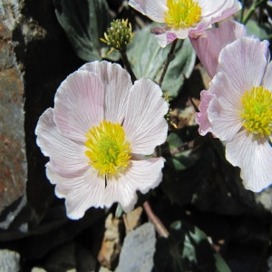 - Ranunculus parnassifolius L. [1753]