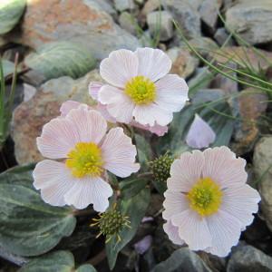 Ranunculus parnassifolius L. [1753] (Renoncule à feuilles de parnassie)