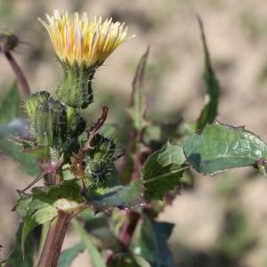 Sonchus oleraceus L. (Laiteron maraîcher)