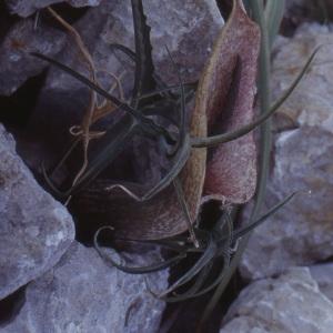 Photographie n°215248 du taxon Dracunculus muscivorus (L.f.) Parl.