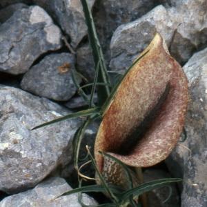 Photographie n°215249 du taxon Dracunculus muscivorus (L.f.) Parl.