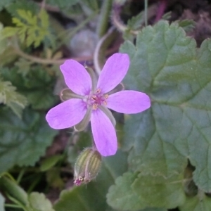 - Erodium malacoides (L.) L'Hér.