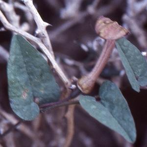 - Aristolochia bianorii Pau & Sennen [1912]