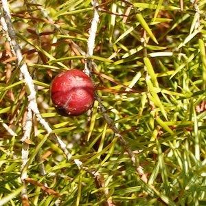 Juniperus oxycedrus subsp. badia (H.Gay) Debeaux