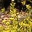 Alain Bigou - Bupleurum falcatum subsp. cernuum (Ten.) Arcang. [1894]