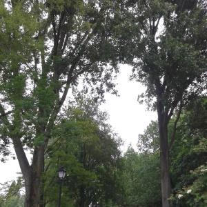 Photographie n°215373 du taxon Populus nigra L.