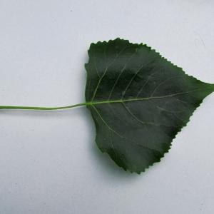 Photographie n°215375 du taxon Populus nigra L.