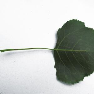 Photographie n°215376 du taxon Populus nigra L.
