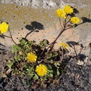 Photographie n°215443 du taxon Crepis sancta subsp. nemausensis (Vill.) Babc. [1941]