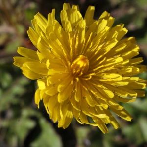 Photographie n°215444 du taxon Crepis sancta subsp. nemausensis (Vill.) Babc. [1941]