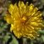Liliane Roubaudi - Crepis sancta subsp. nemausensis (Vill.) Babc. [1941]