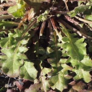 Photographie n°215445 du taxon Crepis sancta subsp. nemausensis (Vill.) Babc. [1941]