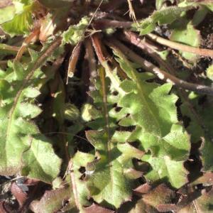 Photographie n°215446 du taxon Crepis sancta subsp. nemausensis (Vill.) Babc. [1941]