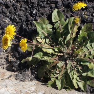 Photographie n°215452 du taxon Crepis sancta subsp. nemausensis (Vill.) Babc. [1941]