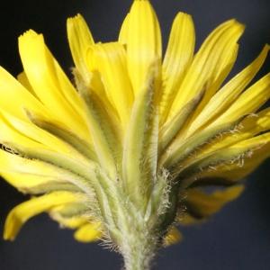 Photographie n°215456 du taxon Crepis sancta subsp. nemausensis (Vill.) Babc. [1941]