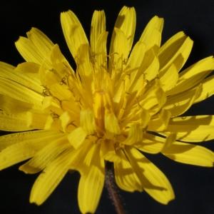 Photographie n°215457 du taxon Crepis sancta subsp. nemausensis (Vill.) Babc. [1941]