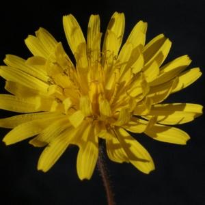 Crepis sancta subsp. nemausensis (Vill.) Babc. [1941] (Crépide de Nîmes)
