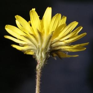 Photographie n°215459 du taxon Crepis sancta subsp. nemausensis (Vill.) Babc. [1941]