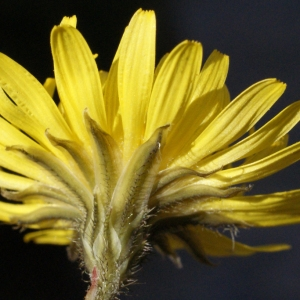 Photographie n°215460 du taxon Crepis sancta subsp. nemausensis (Vill.) Babc. [1941]