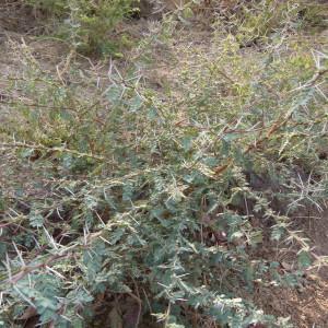 Photographie n°215503 du taxon Acacia ehrenbergiana Hayne