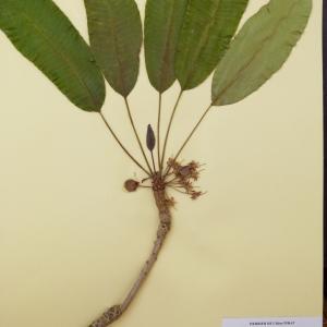 Photographie n°215518 du taxon Vitellaria paradoxa C. F. Gaertn.