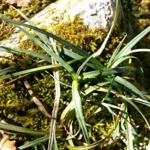 Photographie n°215565 du taxon Carex flacca Schreb. [1771]