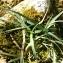 Errol Vela - Carex flacca Schreb. [1771]