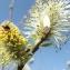 Jean-Claude Echardour - Salix caprea L.
