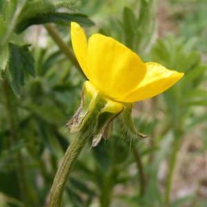 Photographie n°215742 du taxon Ranunculus bulbosus L. [1753]