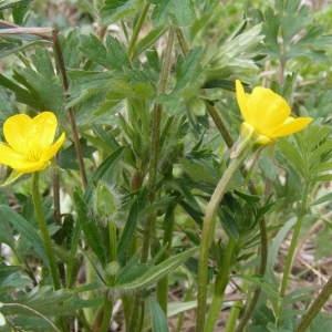 Photographie n°215743 du taxon Ranunculus bulbosus L. [1753]