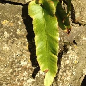Photographie n°215901 du taxon Asplenium scolopendrium L. [1753]