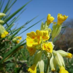 Photographie n°216012 du taxon Primula veris var. veris