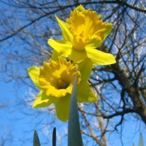 Photographie n°216077 du taxon Narcissus pseudonarcissus L. [1753]