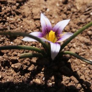 - Romulea bulbocodium (L.) Sebast. & Mauri