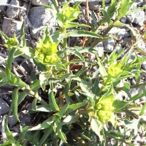 Photographie n°216391 du taxon Euphorbia serrata L. [1753]