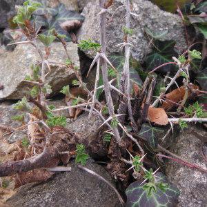 Photographie n°216463 du taxon Ribes uva-crispa L. [1753]