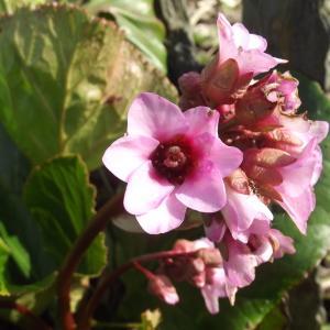 Bergenia crassifolia (L.) Fritsch [1889] (Bergénie à feuilles charnues)