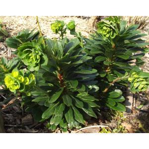 Euphorbia amygdaloides subsp. robbiae (Turrill) Stace