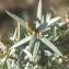 Natacha DEROI - Juniperus oxycedrus L.